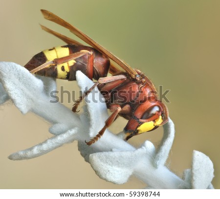 Vespa orientalis - stock photo