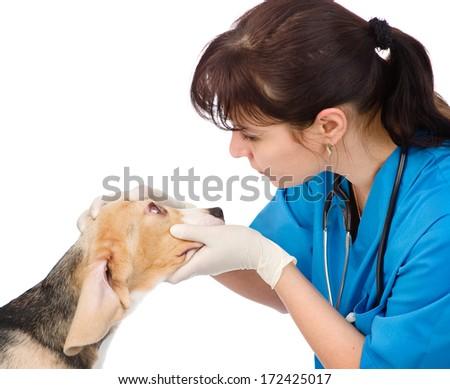 vet check the dog's eyes. isolated on white background - stock photo