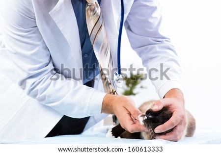 vet checks the health of a cat in a veterinary clinic - stock photo