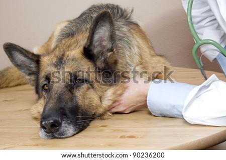 vet examining a sick German Shepherd - stock photo
