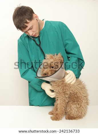 Vet examining an red toy poodle - stock photo
