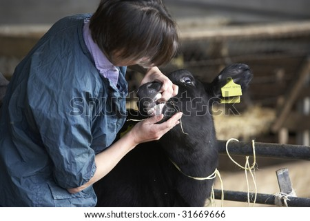 Vet Examining Calf - stock photo