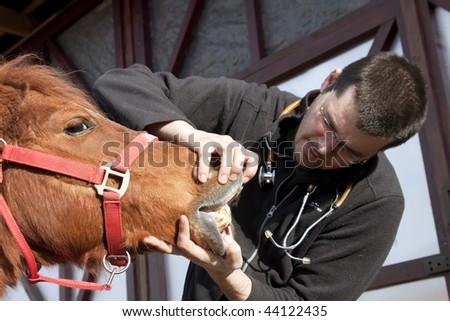 Vet examining horse teeth - stock photo