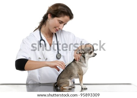 Vet giving an injection to a Chihuahua in front of white background - stock photo