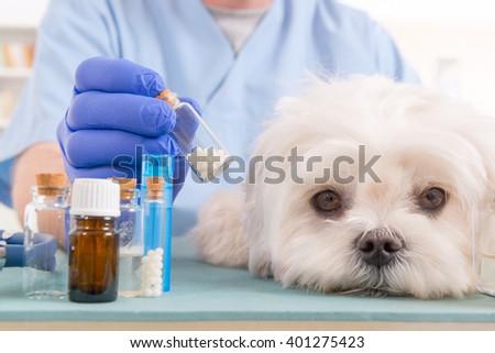 Vet holding homeopathic globules for a little maltese dog - stock photo