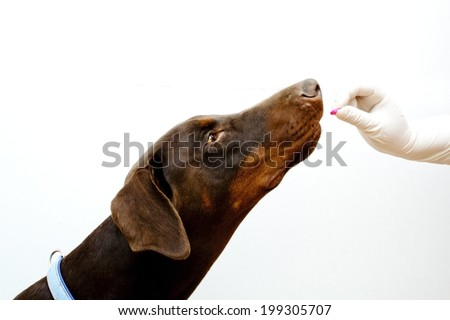 veterinarian administered medication dogs. - stock photo