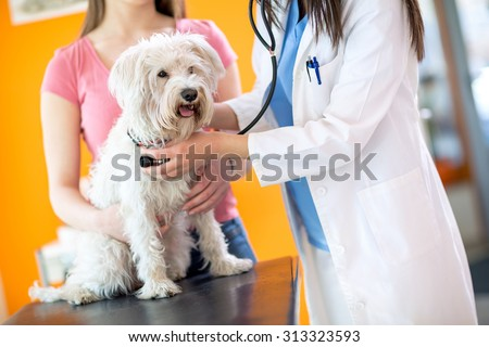 Veterinarian checking up sick Maltese dog with stethoscope in vet clinic - stock photo