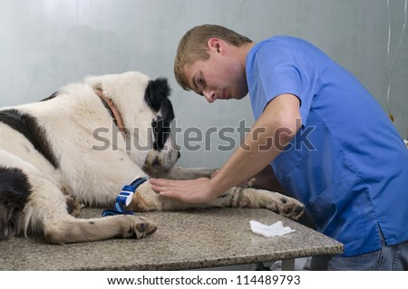 veterinarian doctor making a checkup  of a dog - stock photo
