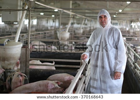 Veterinarian Doctor Wearing Protective Suit. Intensive pig farming. Pig farm worker. Veterinarian doctor examining pigs at a pig farm.  - stock photo