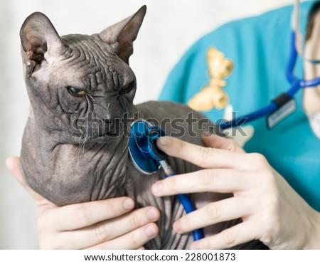 Veterinarian examining a cat - stock photo