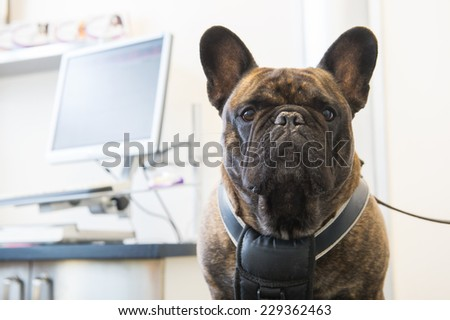Veterinarian examining French Bulldog - stock photo