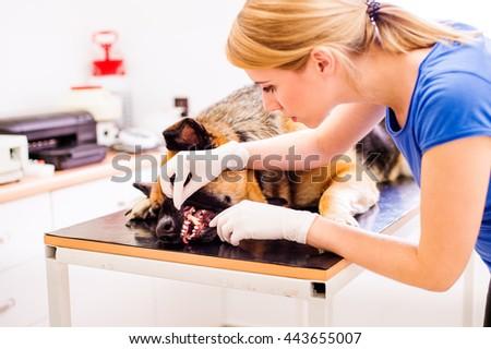 Veterinarian examining German Shepherd dog with sore mouth. - stock photo