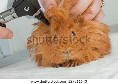 Veterinarian examining guinea pig - stock photo