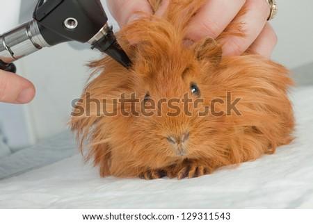 Veterinarian examining guinea pig - stock photo