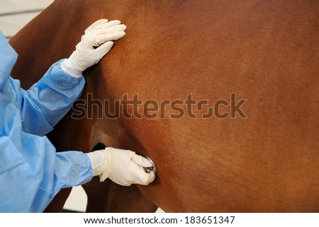 Veterinarian examining horse -auscultation with stethoscope - stock photo
