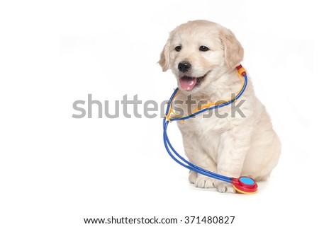 Veterinarian Golden Retriever Cute Puppies - stock photo