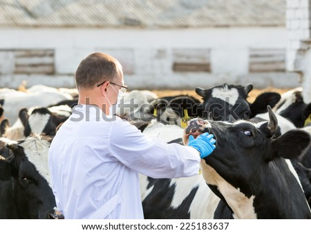veterinarian inspects  cows on the farm - stock photo