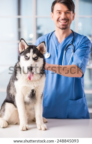 Veterinarian is examining a cute siberian husky at hospital. - stock photo