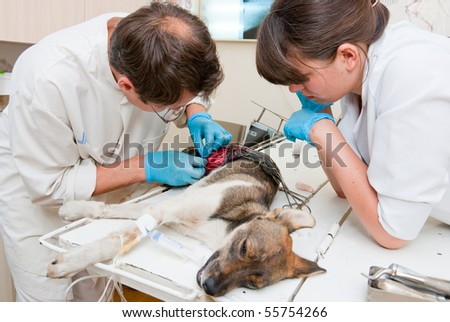 Veterinarian makes surgery the dog with fracture back paws. Nurse helps him. - stock photo