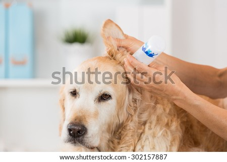 Veterinarian performing cleaning hearing a dog Golden Retriever - stock photo