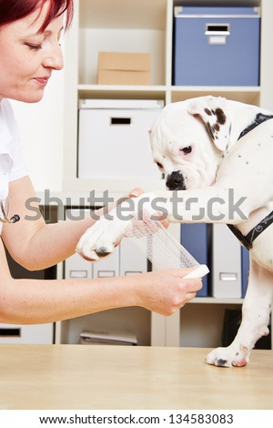 Veterinarian putting bandage on paw of a boxer dog - stock photo