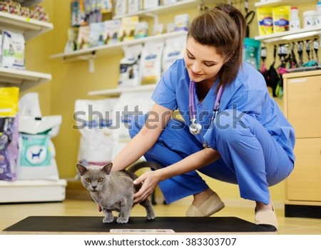Veterinarian putting cat on the weight scale at veterinarian clinic. - stock photo