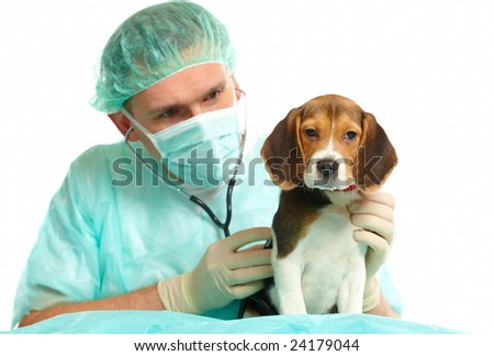 Veterinarian surgeon doctor making a checkup of a beagle puppy dog - stock photo