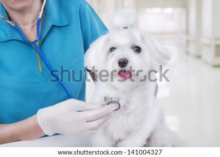 veterinarian woman in blue medical uniform examines with stethoscope  small cute white Maltese puppy - stock photo