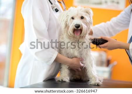Veterinarians shaving part of skin of Maltese dog before treatment in vet clinic - stock photo