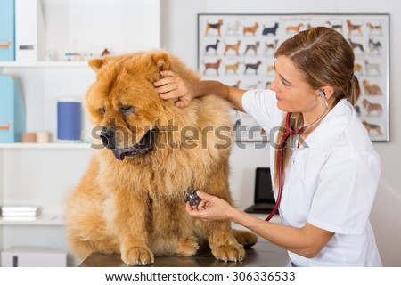 Veterinary by listening to a Chow Chow dog in his clinic - stock photo