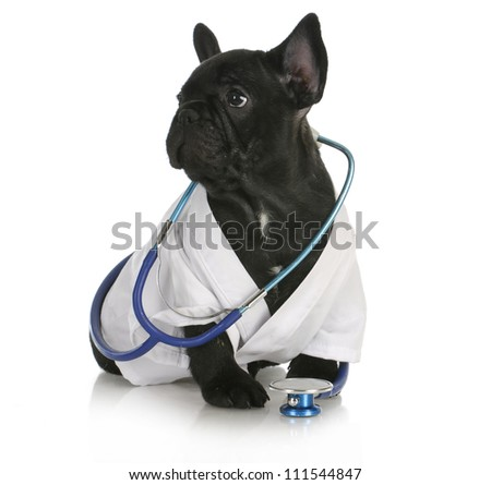 veterinary care - french bulldog dressed up like a vet on white background - 8 weeks old - stock photo