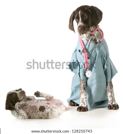 veterinary care - german shorthaired pointer dressed as a veterinarian looking after sick puppy isolated on white background - stock photo