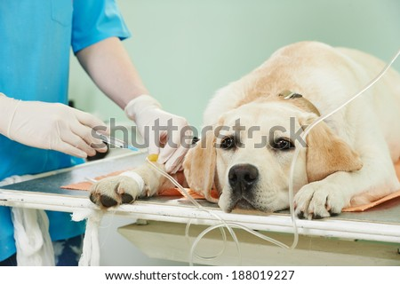 veterinary giving the vaccine to the ivory labrador dog - stock photo