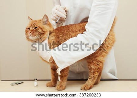 veterinary giving the vaccine to the ivory red cat - stock photo