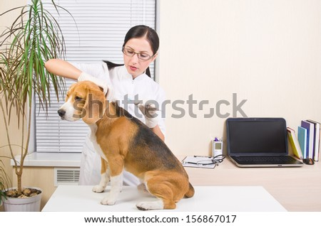 Veterinary makes an injection of dog  breed of beagle - stock photo