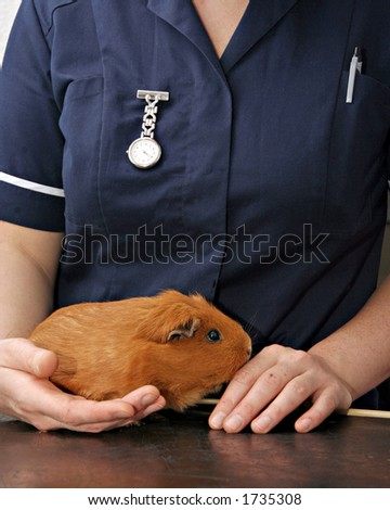 Veterinary Nurse holding Guinea pig - stock photo