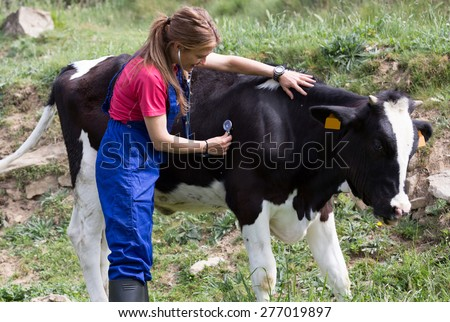 Veterinary on a farm performing a physical examination in a cow - stock photo