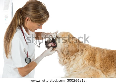 Veterinary performing a dental inspection to a Golden Retriever in clinical - stock photo