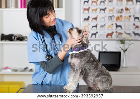 Veterinary performing a dental inspection to a schnauzer min in clinical - stock photo