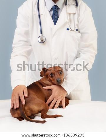 Veterinary specialist examining little dog. - stock photo