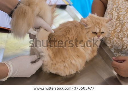 veterinary taking the temperature of a cat in clinic. - stock photo
