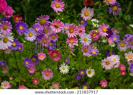 Vibrant Asters blooming in the garden - stock photo