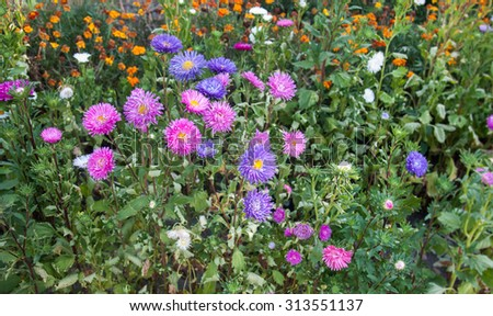 Vibrant Asters blooming in the garden, close-up - stock photo