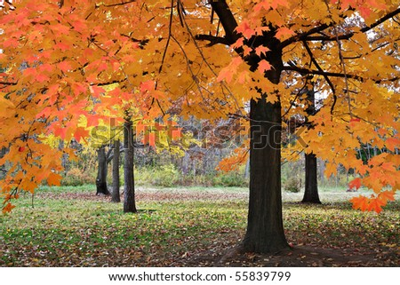 Vibrant Color Produced When Light Falls Through Autumn Leaves On An Overcast Day In The Park, Southwestern Ohio - stock photo