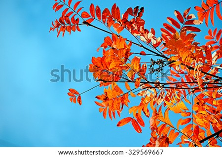 Vibrant colored yellow leaves of mountain ash against bright blue sky under sunlight - autumn natural background  - stock photo