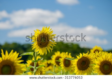 Vibrant colorful sunflowers on a beautiful summer day on a sunflower farm  - stock photo