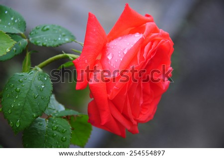 Vibrant coral rose with raindrops - stock photo