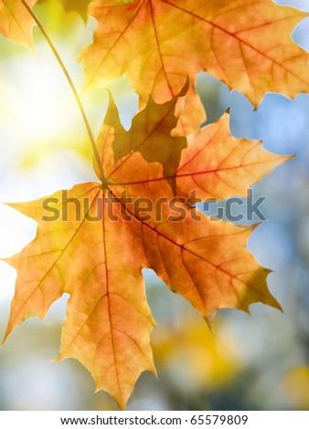 vibrant maple autumn leaves and sun shallow dof - stock photo