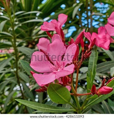 vibrant pink oleander flowers closeup - stock photo