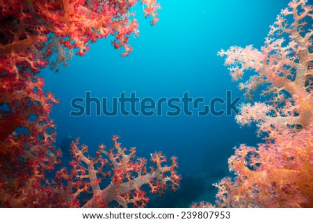 Vibrant pink soft coral (Dendronephthya hemprichi), buzzing with tropical Lyretail anthias (Pseudanthias squamipinnis). Straits of Tiran, Red Sea, Egypt. - stock photo